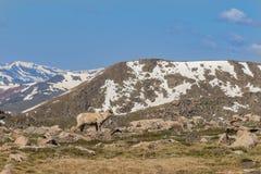 Овца снежных баранов Стоковое Изображение RF