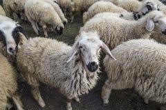 Овца собирается на ферме в индюке Стоковые Изображения