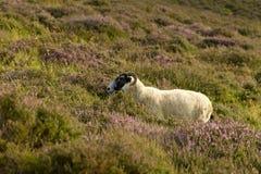 Овца среди вереска Стоковое Изображение RF