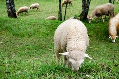 Овца съеденная трава в сельском хозяйстве Стоковая Фотография RF