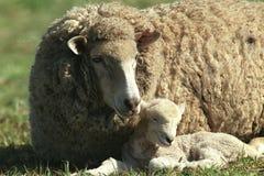 Овца с овечкой младенца Стоковое Изображение RF