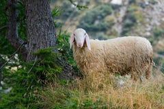 Овца с такими шерстями Стоковые Изображения