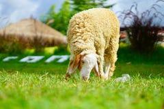 Овца стоковые изображения rf