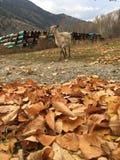 Овца Стоковое Фото
