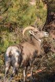 Овца Bighorn пустыни Стоковые Изображения RF