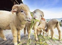 Овца Merino есть траву ruzi выходит на деревянную землю Стоковые Фото
