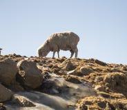 Овца Merino подает в Drakensberg, Лесото Стоковые Фотографии RF