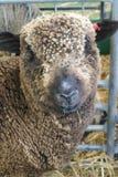 Овца Merino стоит в ручке Стоковые Изображения