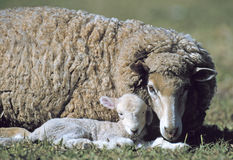 Овца Merino Стоковая Фотография RF