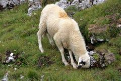 Овца pasturing на горе Стоковое фото RF