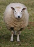 овцематка Стоковая Фотография RF