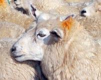 овцематка Стоковые Изображения RF