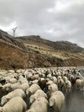 Овцы, Армения стоковая фотография rf