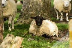 Овцы 04 болота Romney Стоковое Изображение