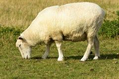 Овцы 11 болота Romney Стоковые Фотографии RF