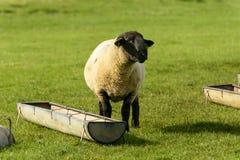 Овцы 02 болота Romney Стоковое Изображение RF