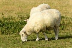 Овцы 10 болота Romney Стоковое фото RF