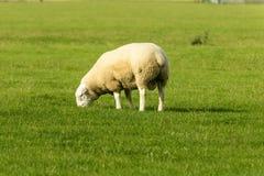Овцы 05 болота Romney Стоковые Изображения RF