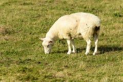 Овцы 07 болота Romney Стоковое Фото