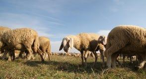 Овцы большого стада пася в зиме Стоковое Изображение RF