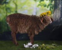 Овцы Брайна пася около леса Стоковые Изображения RF