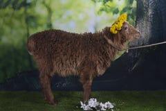 Овцы Брайна пася около леса Стоковое Фото