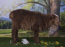 Овцы Брайна пася около леса Стоковые Фото