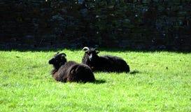 Овцы Брайна Horned Стоковые Фото