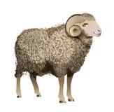 Овцы вектора реалистические иллюстрация вектора