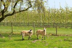 Овцы весной стоковая фотография