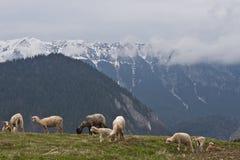 овцы выгона к Стоковые Изображения