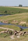 овцы выгона к Стоковое Изображение