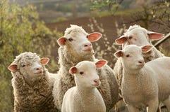 овцы выгона овечек Стоковая Фотография