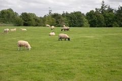 овцы выгона Стоковые Изображения