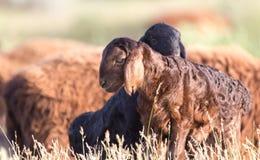 овцы выгона Стоковое Изображение