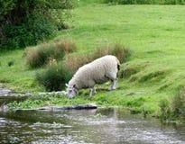 Овцы выпивая от шахмат реки на Latimer, Buckinghamshire стоковое фото