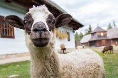 Овцы вытаращить в камеру Стоковые Фотографии RF