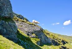 Овцы в австрийских горных вершинах Стоковая Фотография RF
