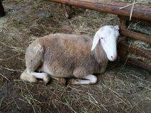 Овцы в амбаре Стоковая Фотография