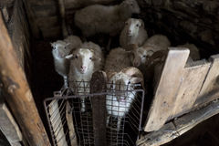 Овцы в амбаре Стоковое Фото