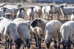 Овцы в выгоне есть луки Стоковое фото RF