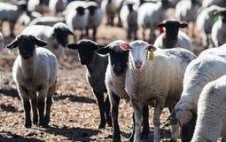 Овцы в выгоне есть луки Стоковое Фото