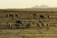 Овцы в выгоне рано утром Стоковое фото RF