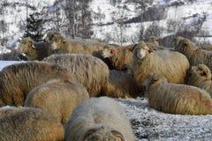 Овцы в горах на зиме Стоковое Изображение RF