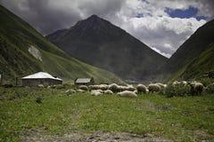 Овцы в горах Стоковые Фото