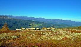 Овцы в горах Стоковые Фотографии RF
