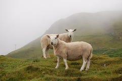 Овцы в горах Стоковая Фотография