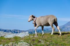 Овцы в горе Стоковые Изображения