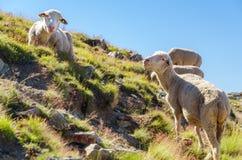 Овцы в горе Стоковая Фотография RF