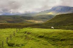 Овцы в гористой местности в Шотландии Стоковые Фотографии RF